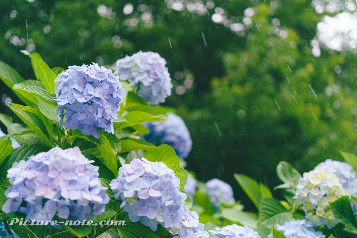 飛鳥山公園のあじさい 2019 雨模様の空と光の玉ボケ