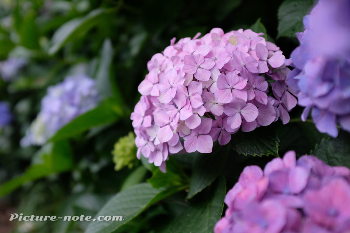 飛鳥山公園の紫陽花 2019